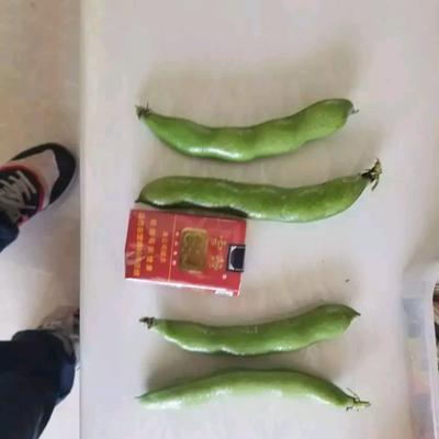 福建省厦门市同安区新鲜蚕豆