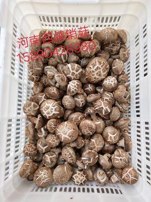 河南省南阳市西峡县花菇 4.6 - 6.0 cm 三级