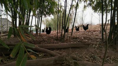 重庆璧山区黑羽乌鸡 2-3斤