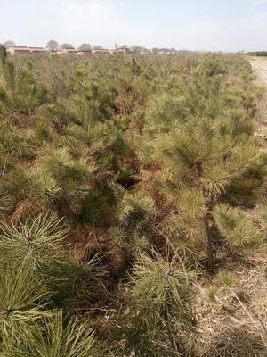 甘肃省平凉市崆峒区湿地松树苗