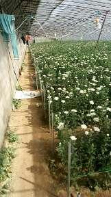 这是一张关于白菊的产品图片