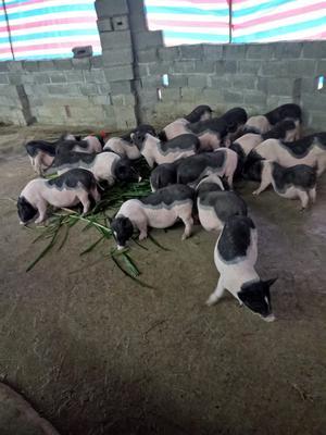 广西壮族自治区钦州市钦北区陆川猪