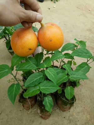 广西壮族自治区钦州市灵山县哥伦比亚百香果苗