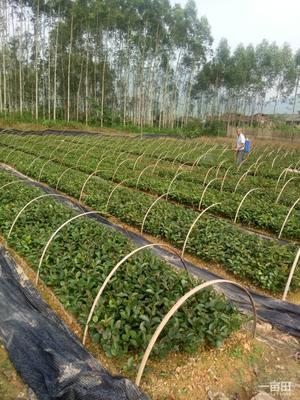 广西壮族自治区柳州市融安县大红袍枇杷苗