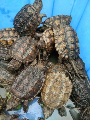 广东省茂名市电白区鳄龟 10-20cm 0.5-1斤