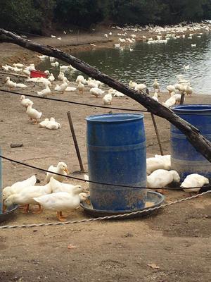 广东省阳江市江城区白鸭 统货 全散养 7-8斤