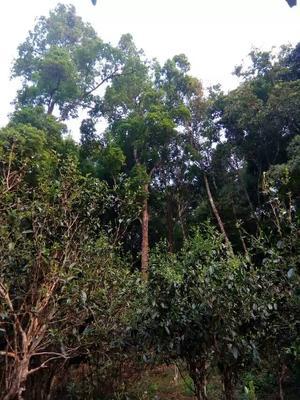 云南省西双版纳傣族自治州勐腊县大叶古树普洱茶 散装 一级