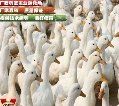 广西壮族自治区南宁市西乡塘区肉鸭苗
