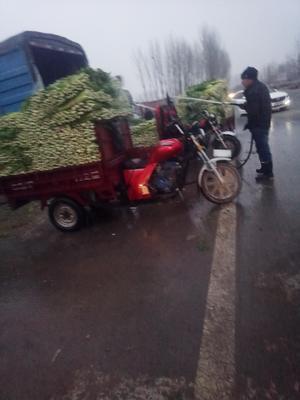 河南省郑州市中牟县法国皇后芹菜 50~55cm 大棚种植 0.5斤以下