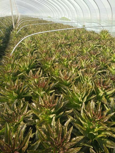 红尖叶莴苣 50-60cm 2斤以上