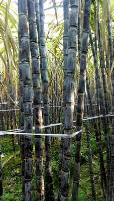 这是一张关于黑皮甘蔗 2.5 - 3m 4 - 5cm的产品图片