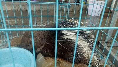 贵州省安顺市西秀区长刺豪猪 20-30斤