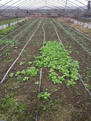 这是一张关于小叶香菜 10~15cm的产品图片