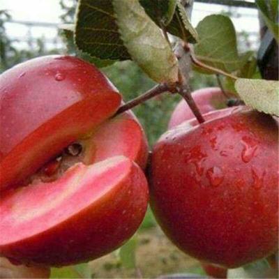 山东省泰安市肥城市瑞士红色之爱苹果苗 0.5~1米