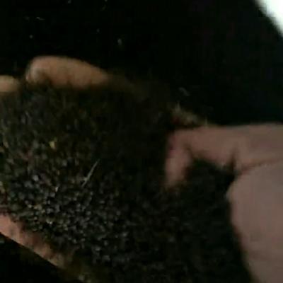 内蒙古自治区呼伦贝尔市牙克石市油菜籽
