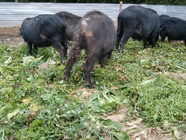 蕨蔴猪 80斤以上