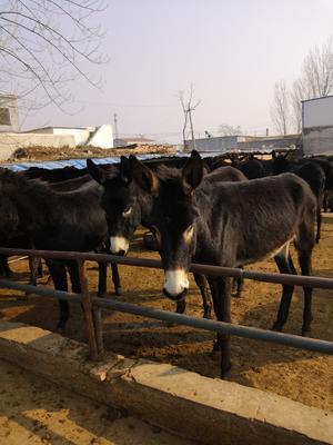 山东省济宁市汶上县肉驴 200-400斤