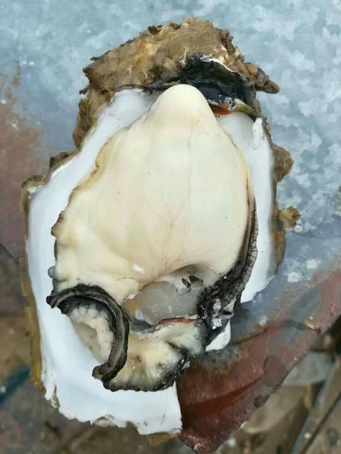 山东乳山牡蛎 野生 1-3只/公斤