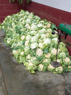 陕西省汉中市洋县白花菜花 紧密 2~3斤 乳白色