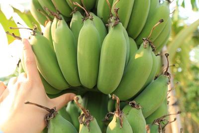 广东省广州市南沙区粉蕉 七成熟 40 - 50斤