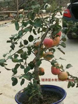 山东省临沂市平邑县苹果盆景
