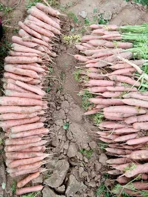 甘肃省白银市靖远县陕西秤杆红萝卜 10~15cm 2两以上 3~4cm