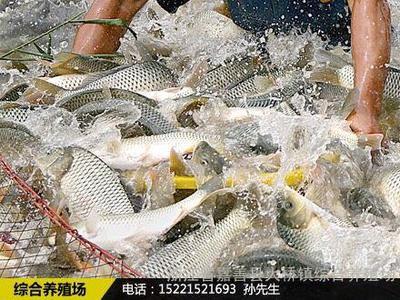 湖南省长沙市芙蓉区池塘草鱼 人工养殖 0.5-2.5公斤