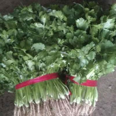 山东省济宁市金乡县大叶香菜 25~30cm