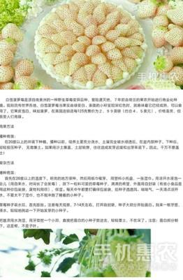 广东省广州市荔湾区草莓种子