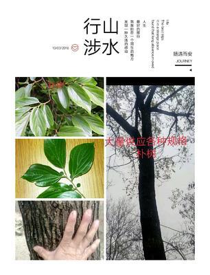 广西壮族自治区桂林市阳朔县丛生朴树