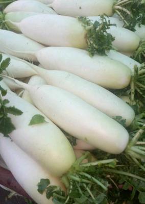 云南省曲靖市宣威市白萝卜 1.5~2斤