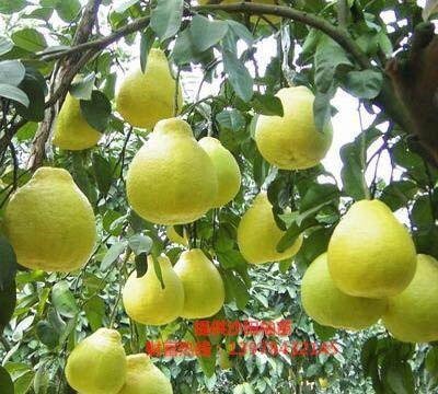 广西壮族自治区贺州市八步区沙田柚苗