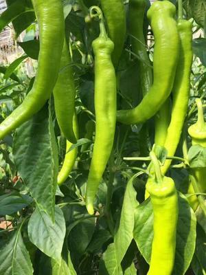 山东省潍坊市寿光市尖椒种子 99%以上 杂交种