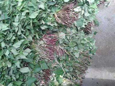 河南省安阳市内黄县烟薯25号红薯苗 25~35cm