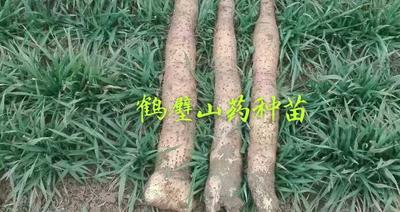 河南省鹤壁市淇滨区九斤黄山药 50~70cm