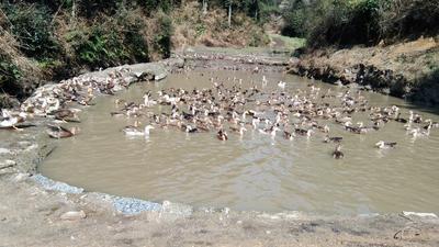 广西壮族自治区桂林市资源县土鸭 统货 全散养 4-5斤