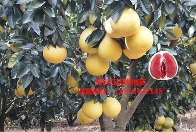 广西壮族自治区贺州市八步区红心柚苗
