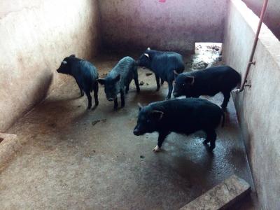 江苏省徐州市新沂市藏香猪猪苗