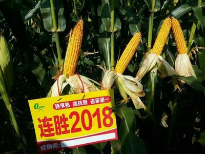 山东省德州市齐河县玉米种子