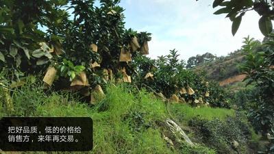 广东省梅州市大埔县红心柚 2斤以上