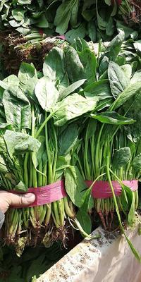 河北省邯郸市永年县高杆菠菜 30~35cm