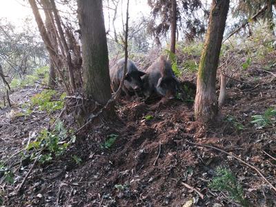 湖南省郴州市苏仙区藏香猪 20-40斤