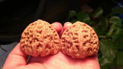 这是一张关于麻核桃树的产品图片