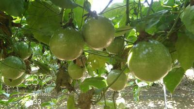 这是一张关于哥伦比亚百香果苗的产品图片