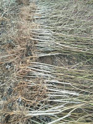 这是一张关于毛桃苗 1~1.5米的产品图片