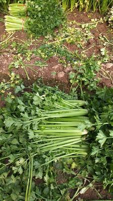 河南省焦作市修武县西芹 45~50cm 大棚种植 0.5~1.0斤