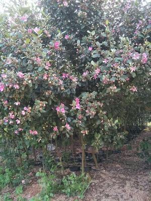 这是一张关于桃金娘苗 1~1.5米的产品图片