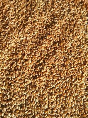 黑龙江省黑河市五大连池市混合小麦