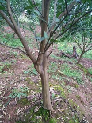 这是一张关于红橘苗 挂果树 0.2米以下的产品图片