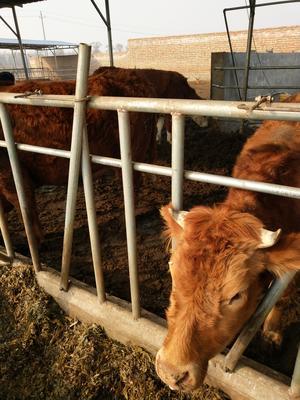 这是一张关于鲁西黄牛 200-300斤 统货的产品图片